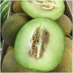 Galia Melone (Melon Galia)