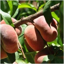 Fresh wild peach (Paraguayo)