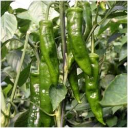 Grüner Paprika