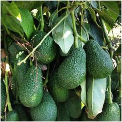 Avocado Hass (Aguacate Hass)