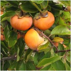 Sharon Fruits / Flat Kakis