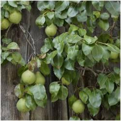 Frische Birnen (Peras)