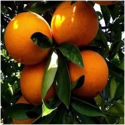 Orangen direkt vom Baum