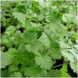 1 bunch of coriander