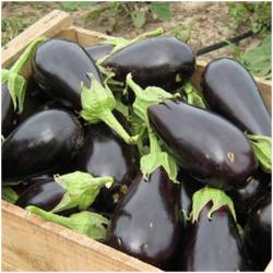 Aubergine - mature and...