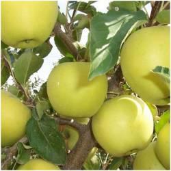 Fresh appel