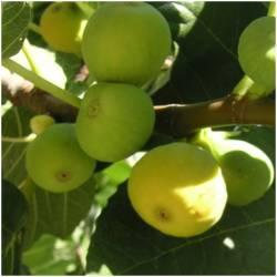 1 kilo of figs
